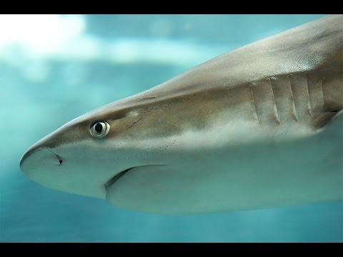 California Köpek Balığı Canlı izle